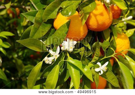 orange tree branch with fruits and flowers
