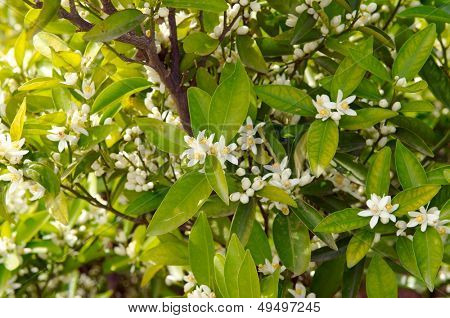 orange tree branch with flowers in the sunshine