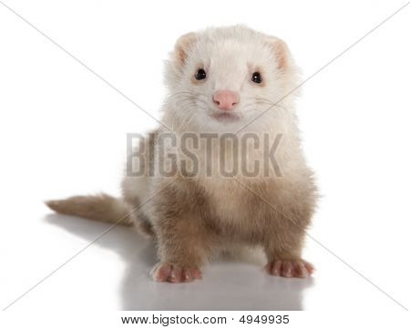 Ferret - Mustela Putorius Furo (7 Years Old)