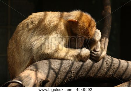 Poor Barbary Macaque Ape Suffering In Zoo Cage