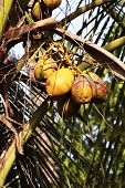 foto of naturist  - Zoomed shot of Tropical Coconut Tree top - JPG
