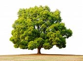 stock photo of camphor  - an isolated huge camphor tree at meadow with white background - JPG