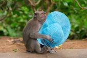 stock photo of stolen  - Playful monkey macaque thief with blue female hat stolen from a carefree tourist - JPG