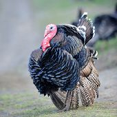 picture of turkey-cock  - farm male turkey outdoor - JPG