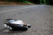 picture of blowfly  - Wood pigeon lies dead in a country lane - JPG
