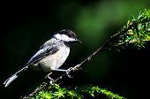 pic of chickadee  - A Black - JPG
