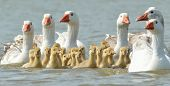 pic of baby goose  - geese on the lake with - JPG