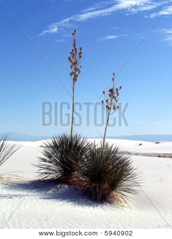 Yucca Cactus at White Sands National Monument 02