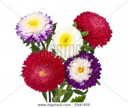 Asters Bouquet Isolated