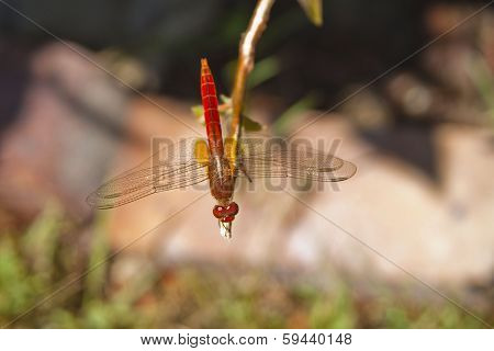 Red Damselfly on a branch