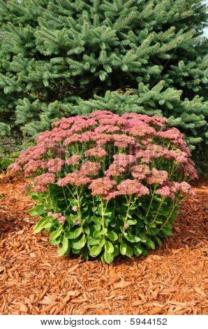 Flowering Sedum Autumn Joy