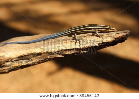 Young Blue Tailed Five Lined Skink Hatchling