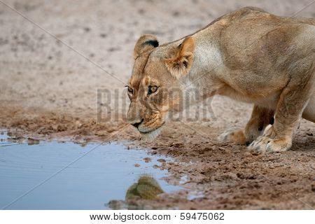 Lioness (Panthera leo) drinking water at a waterhole, Kalahari, South Africa