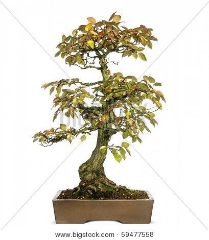 Korean Hornbeam bonsai tree, Carpinus turczaninowii, isolated on white