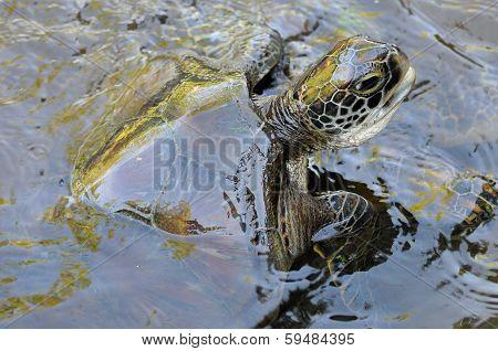 Green Turtle, Jozani - Chwaka National Park, Zanzibar, Tanzania