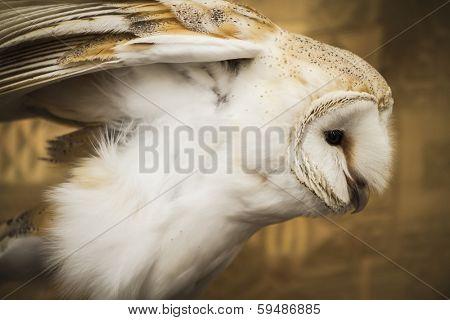 Owl portrait, golden owl, wildlife concept