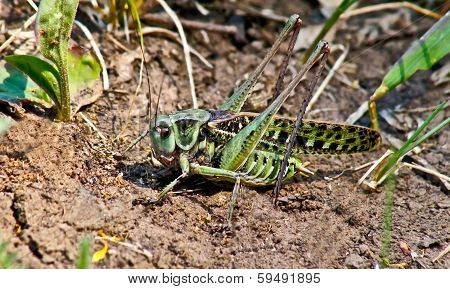 Locusts In The Grass On A   Meadow.