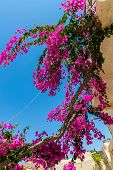Branches Of Flowers Pink Bougainvillea Bush On Balcony In Street, Crete, Greece