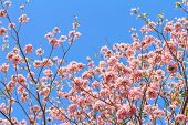 stock photo of trumpet flower  - Rosy trumpet flower or Pink trumpet flower blooming on tree