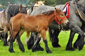 stock photo of horse plowing  - A foal with its dam  - JPG