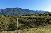 image of south-western  - Blackberry plantation in Swellendam area - JPG