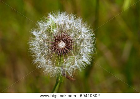 Dandelion on background green grass close up