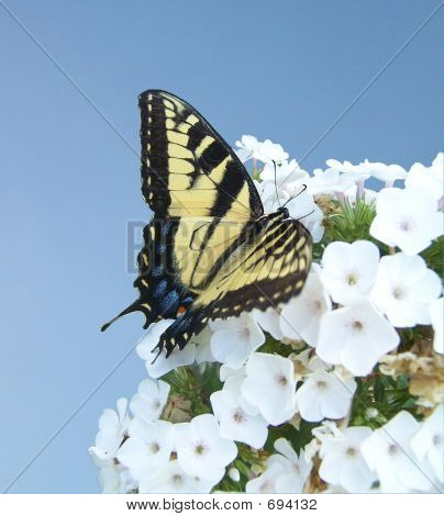 Butterfly On White Flowers