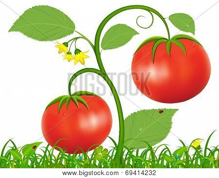 Illustration of Tomato