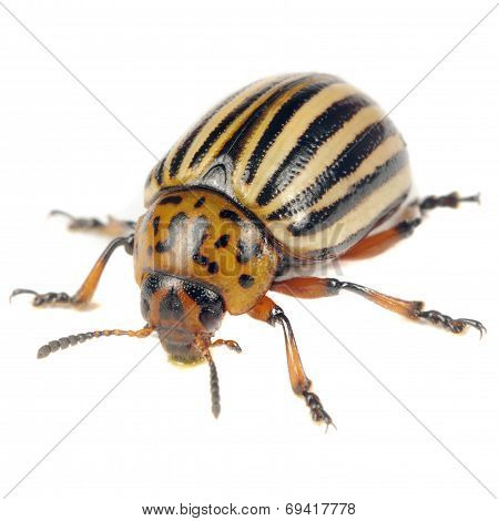Colorado Potato Beetle Isolated On White Background