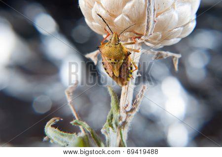 Green Carpocoris Fuscispinus