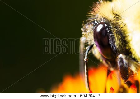 Bee head and hair on black background macro
