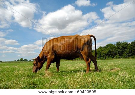 A cow is standing on a green field eating grass. Blue and cloudy sky in the background.