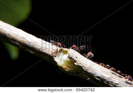 Ants Climbing An Ivy Branch