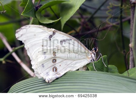 The White Morpho (morpho Polyphemus)