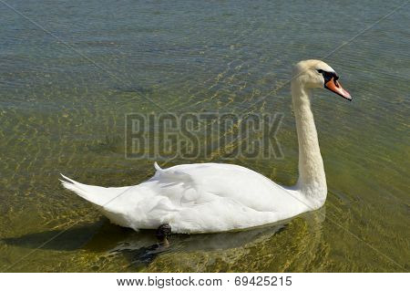 Mute Swan Latin name Cygnus olor