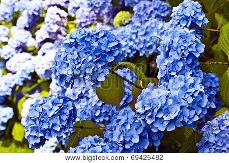 Blue hydrgea flowers.
