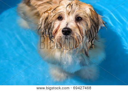 Cute Havanese Puppy Is Bathing In A Blue Water Pool