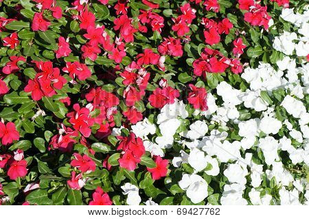 Red and white vinca blossom
