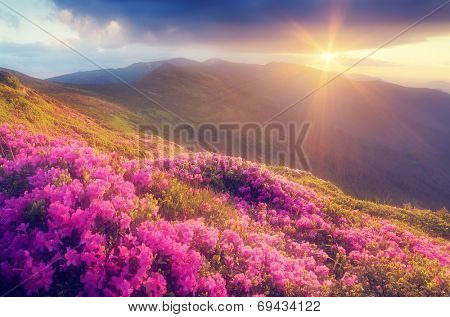 Summer landscape with flowers of rhododendron. Evening with a beautiful sky in the mountains. Glade of pink flowers. Soft effect. Color toning