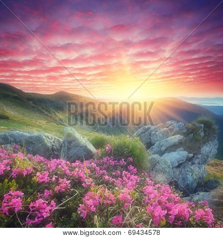 Fabulous sunrise in the mountains. Beautiful summer landscape with flowers of rhododendron. Meadow with red flowers. Soft effect. Color toning