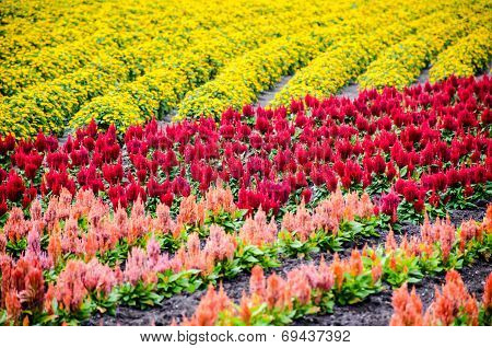 Colorful Rows Of Flower Garden