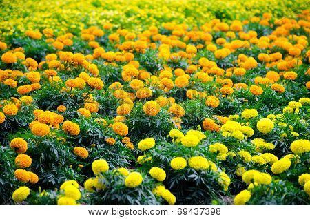Marigold Meadow In Garden