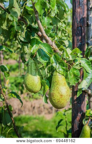 Ripening Conference Pears On The Trees