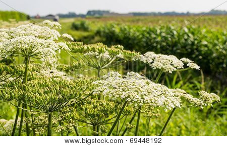 Giant Hogweed On The Edge Of A Field