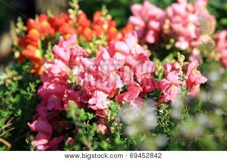 Orange and pink Snapdragon flower