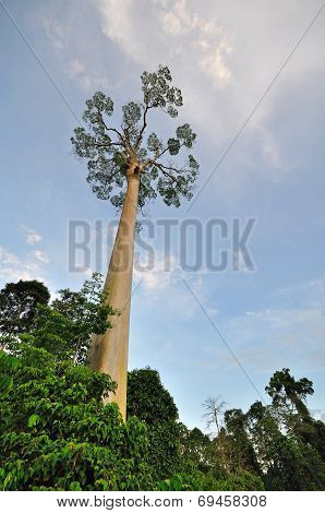 Shorea fagueteana or giant Mengaris tree