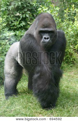 Imponente gorila de Silverback