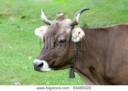 Portrait Of Brown Cow On A Pasture