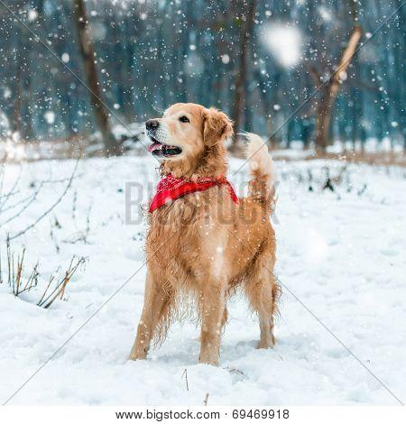 golden retriever walk at the snow in winter park