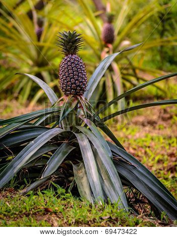 Pineapple Plant On Mekong Delta, Vietnam